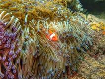 A beleza do mundo subaquático em Sabah, Bornéu imagens de stock