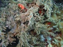 A beleza do mundo subaquático em Sabah, Bornéu fotos de stock