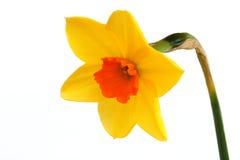 Beleza do narciso Imagens de Stock Royalty Free
