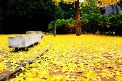 A beleza do outono da nogueira-do-Japão Biloba na cidade de Changsha imagem de stock