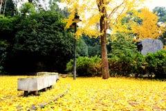 A beleza do outono da nogueira-do-Japão Biloba na cidade de Changsha imagens de stock royalty free