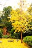 A beleza do outono da nogueira-do-Japão Biloba na cidade de Changsha fotos de stock royalty free