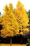 A beleza do outono da nogueira-do-Japão Biloba na cidade de Changsha fotos de stock