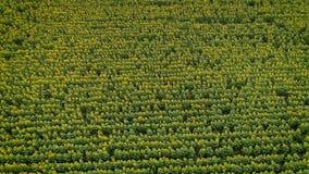 Beleza do ` s da natureza: vista aérea no campo dos girassóis vídeos de arquivo