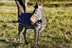Beleza do ` s do embaixador Heartman da zebra: Zebra do ` s de Hartman em Rim Wildlife Center fóssil em Glen Rose, Texas Foto de Stock Royalty Free