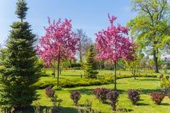 A beleza do sakur de florescência que está em um parque em um tapete do verde cortou a grama Fotografia de Stock