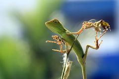 A beleza do sono dos lagartos foto de stock royalty free