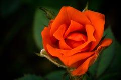 A beleza do vermelho floresce Rosa Imagem de Stock Royalty Free