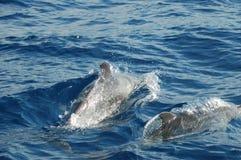 A beleza dos golfinhos da água salgada que jogam no Oceano Atlântico fotos de stock