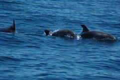 A beleza dos golfinhos da água salgada que jogam no Oceano Atlântico imagem de stock royalty free