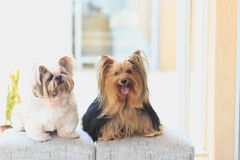 Beleza dos Yorkshire e shihtzu Royalty Free Stock Photos