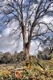 Beleza espectral de árvores inoperantes Foto de Stock