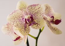 Beleza exótica da orquídea foto de stock royalty free