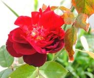Beleza frágil - Rosa Imagens de Stock Royalty Free