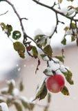 Beleza fria da neve do inverno das MAÇÃS Fotos de Stock Royalty Free