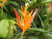 Beleza Heliconia Imagens de Stock