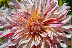 Beleza listrada do rosa e a branca da dália foto de stock