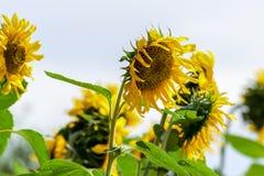 Beleza natural, girassol no jardim, ramalhete amarelo da flor, plantando animais, foco seleto e para borrar o fundo fotos de stock royalty free