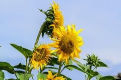 Beleza natural, girassol no jardim, ramalhete amarelo da flor, plantando animais, foco seleto e para borrar o fundo imagens de stock royalty free
