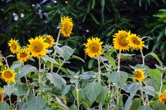 Beleza natural, girassol no jardim, ramalhete amarelo da flor, plantando animais, foco seleto e para borrar o fundo imagem de stock