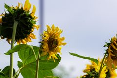 Beleza natural, girassol no jardim, ramalhete amarelo da flor, plantando animais, foco seleto e para borrar o fundo fotos de stock