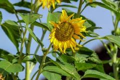 Beleza natural, girassol no jardim, ramalhete amarelo da flor, plantando animais, foco seleto e para borrar o fundo fotografia de stock royalty free