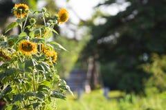 Beleza natural, girassol no jardim, ramalhete amarelo da flor, plantando animais, foco seleto e para borrar o fundo imagens de stock