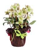 Beleza Potted do branco do Helleborus Fotografia de Stock Royalty Free