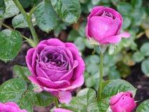 Beleza roxa foto de stock royalty free