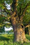 Beleza tranquilo de uma noite do verão no campo desolado Um carvalho ramificado velho com a cavidade profunda em seu tronco e a l foto de stock royalty free
