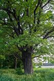 Beleza tranquilo de uma noite do verão no campo desolado Um carvalho ramificado velho com a cavidade profunda em seu tronco e a l fotos de stock royalty free