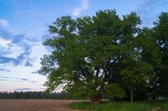 Beleza tranquilo de uma noite do verão no campo desolado Um carvalho ramificado velho com a cavidade profunda em seu tronco e a l fotos de stock