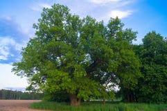 Beleza tranquilo de uma noite do verão no campo desolado Um carvalho ramificado velho com a cavidade profunda em seu tronco e a l fotografia de stock royalty free