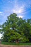 Beleza tranquilo de uma noite do verão no campo desolado Um carvalho ramificado velho com a cavidade profunda em seu tronco e a l imagem de stock