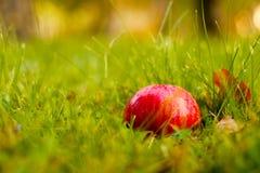 Beleza vermelha, a maçã a mais doce da árvore fotografia de stock