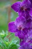 Beleza violeta Foto de Stock Royalty Free