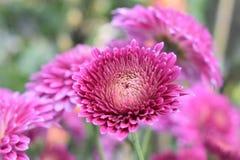 belezas cor-de-rosa Fotografia de Stock Royalty Free