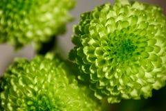 Belezas verdes - um macro floral do showin Imagem de Stock