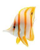 belfra butterflyfish copperband coralfish odizolowywający Zdjęcie Stock