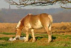 Belga dei Amish con il foal Fotografia Stock Libera da Diritti