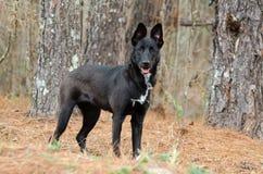 Belga Malinois Pasterskiego psa Niemiecki mieszający traken Zdjęcia Royalty Free