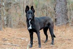 Belga Malinois Pasterskiego psa Niemiecki mieszający traken Fotografia Royalty Free