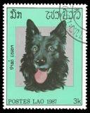 Belga Tervuren Pasterski pies zdjęcia royalty free