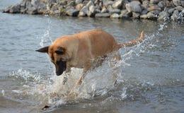 Belgare Malinois som spelar i vatten Arkivfoto