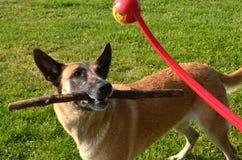 BelgareMalinois hund som retas av hennes ägare arkivbild