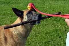 BelgareMalinois hund som retas av hennes ägare Arkivfoton