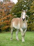 Belgian. Draft horse in a pasture Stock Photography