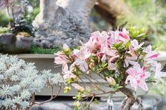 Belgian Azalea(Rhododendron Bergian Azalea Hybrids) Royalty Free Stock Photography