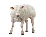 Belgian blue bull (8 months old) Stock Photo