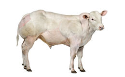 Belgian blue bull (8 months old) Stock Photography